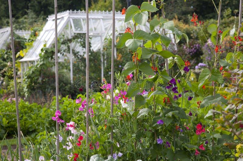 Cottage Garden Sweet Peas & Runner Beans stock images