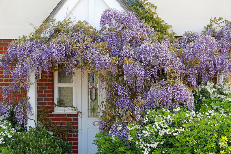Cottage garden wisteria. Photo of beautiful springtime wisteria racemes hanging from a kent country cottage porch. May 2016 stock photos