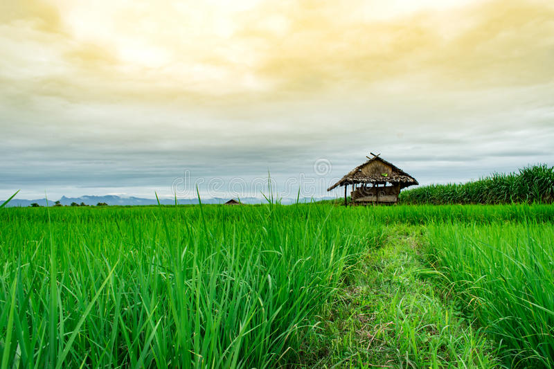 Cottage in the rice field royalty free stock photos