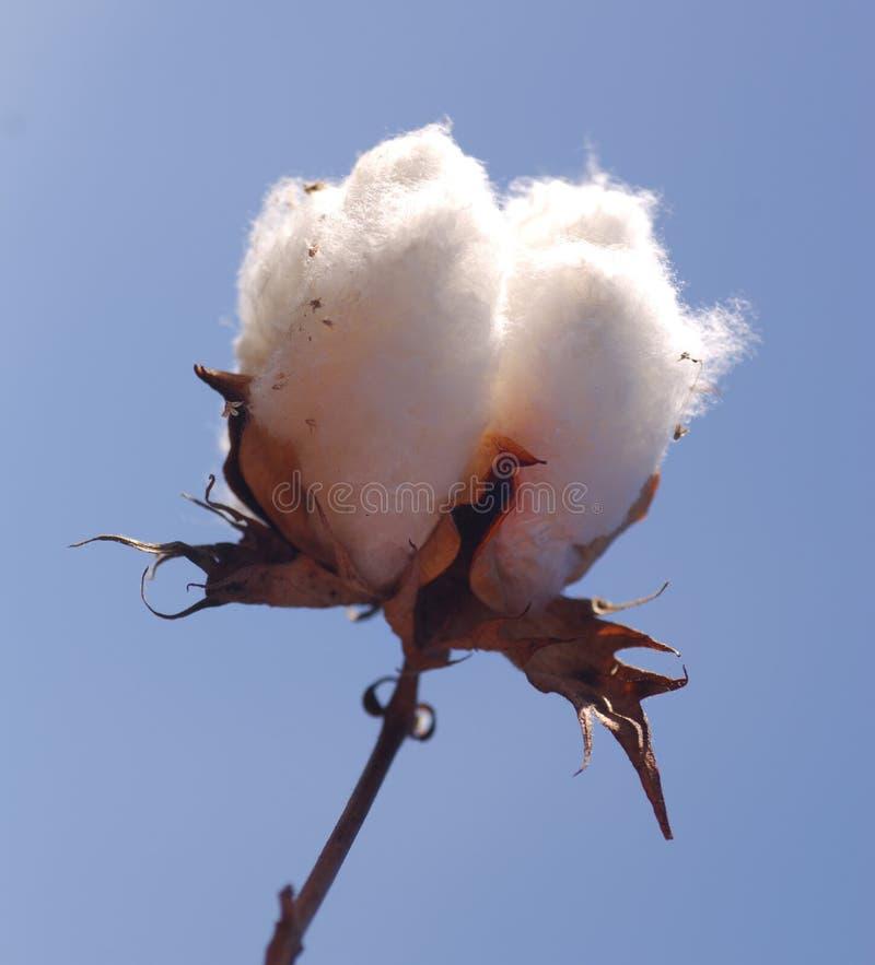 Cotton 1 stock photo