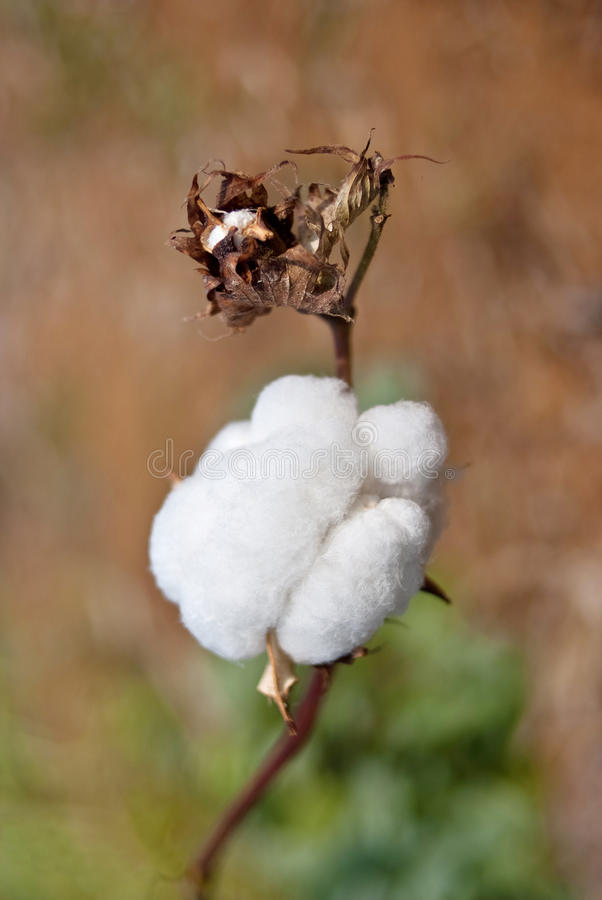 Download Cotton stock photo. Image of planting, fruit, flower - 25224178