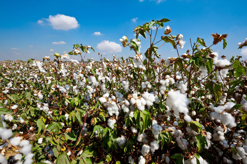 Download Cotton stock photo. Image of material, landscape, crop - 26010658