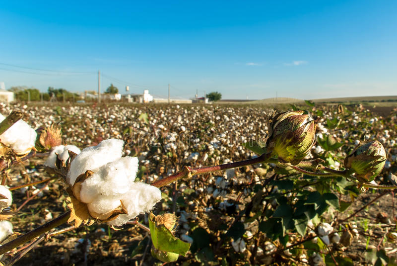 Download Cotton stock image. Image of fluffy, bloom, plantation - 27222491