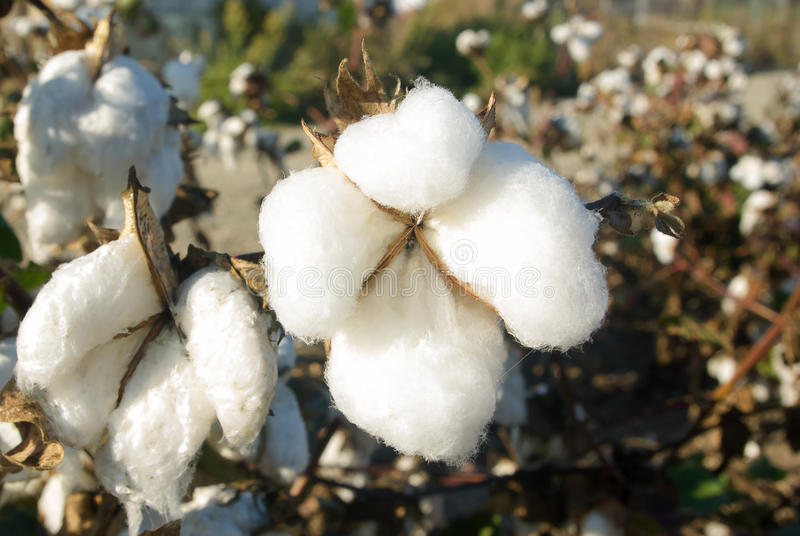 Download Cotton stock photo. Image of material, stem, close, flower - 27222516