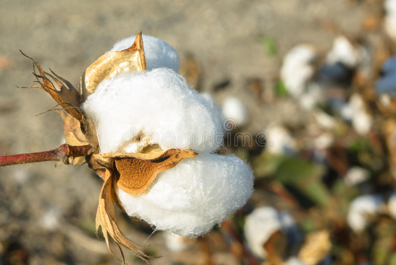 Download Cotton stock image. Image of harvesting, growth, resources - 27222529