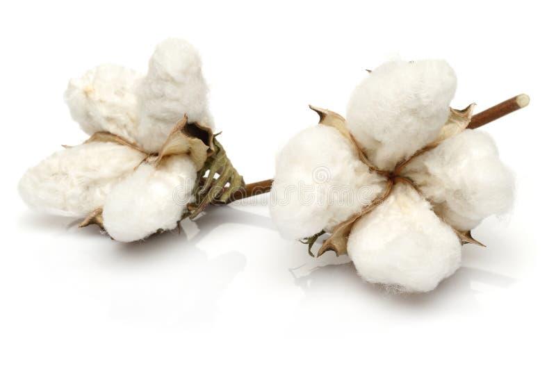 Cotton. On white background royalty free stock photo