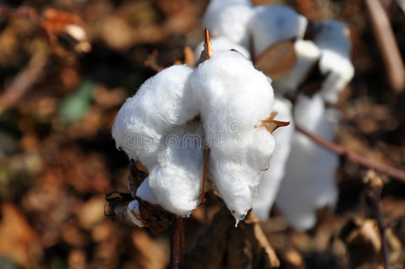 Download Cotton stock photo. Image of rural, landscape, farming - 7096332