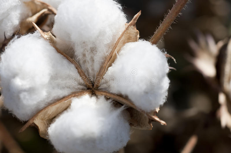 Download Cotton ball stock photo. Image of plant, closeup, outside - 27210092