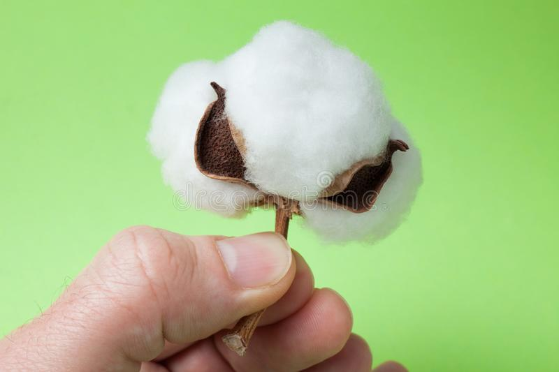 Cotton ball in hand on a green background royalty free stock photo