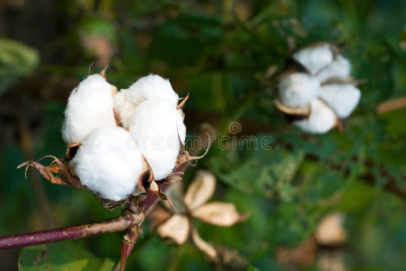 Cotton boll royalty free stock photo