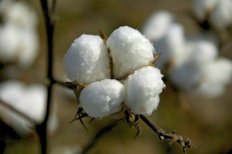Download Cotton Boll 2 stock photo. Image of cultivate, boll, farming - 1277366