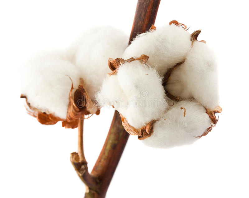 Download Cotton bolls stock image. Image of isolate, fiber, fluffy - 22248803