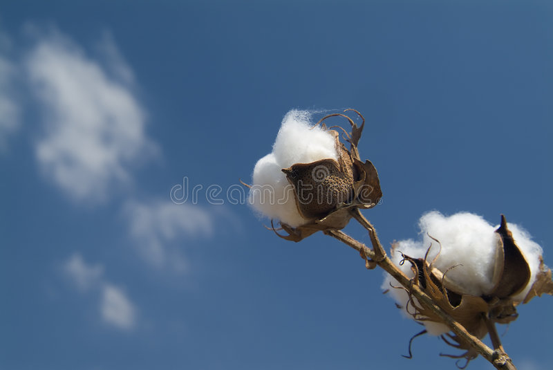 Download Cotton branch stock image. Image of cotton, field, farm - 3199129