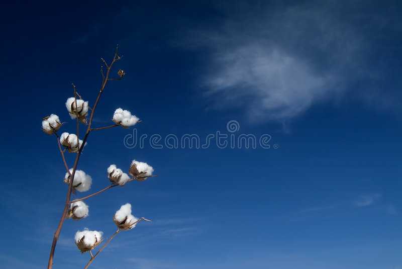 Download Cotton branch stock photo. Image of sphere, crop, botany - 3501234
