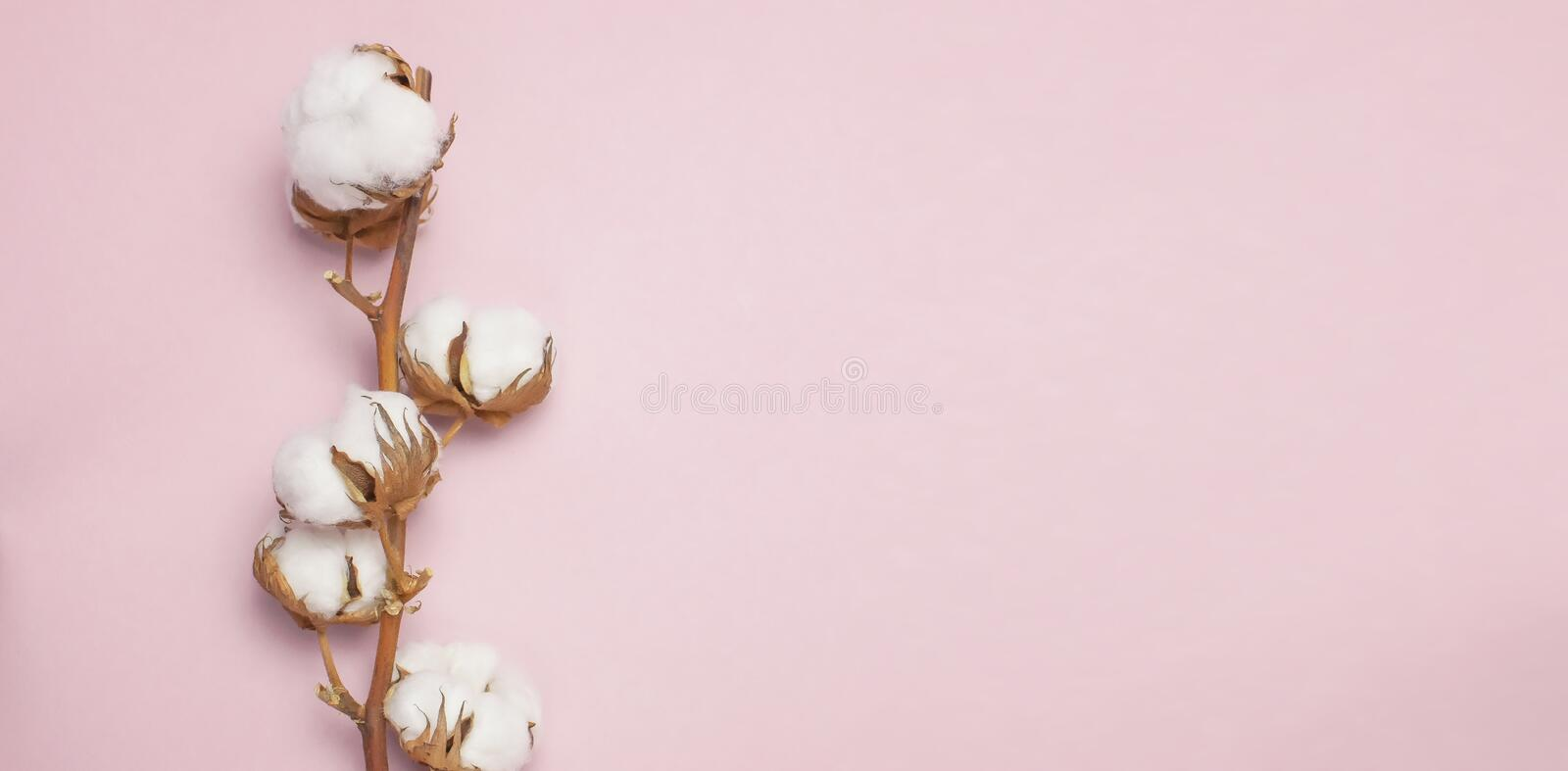 Cotton branch on pink background Flat lay Top view. Delicate white cotton flowers. stock photos
