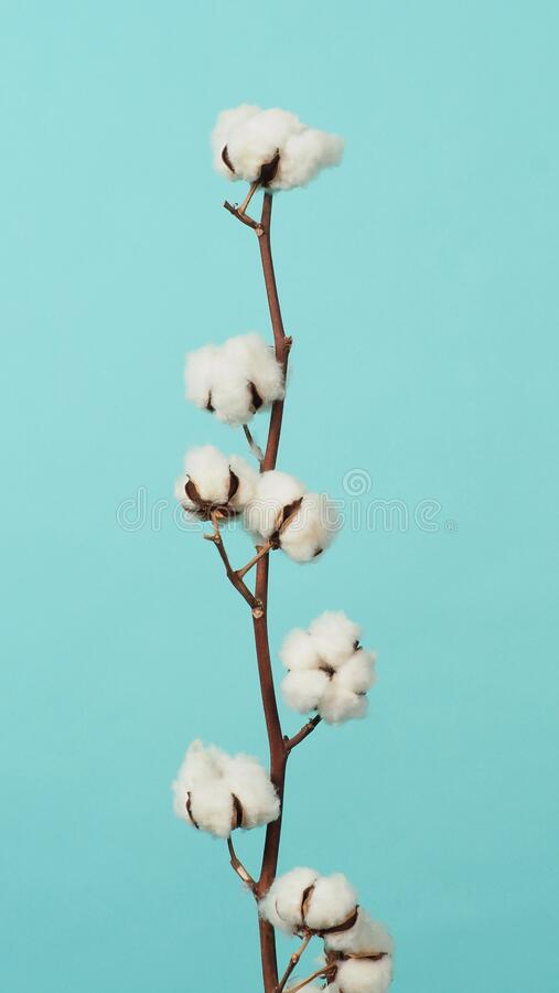 Free Cotton Branch. Real Delicate Soft And Gentle Natural White Cotton Balls Flower Branches Royalty Free Stock Photo - 206393745
