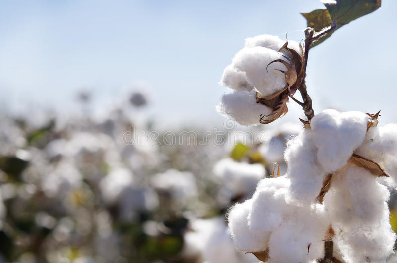 Cotton bud in field stock photo