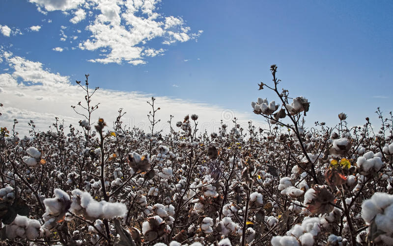 Download Cotton crop stock photo. Image of industry, natural, plant - 17112956