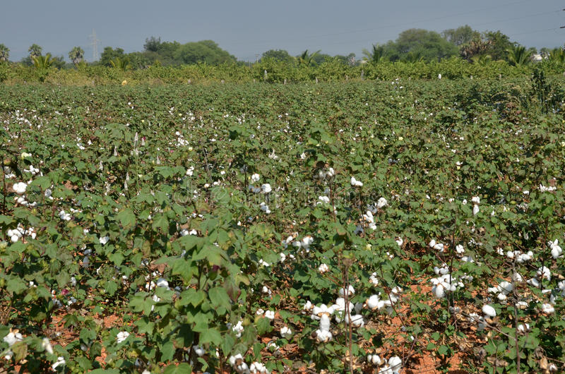 Download Cotton crop stock photo. Image of environment, ball, textile - 28766484