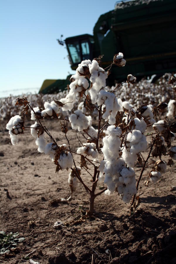 Free Cotton Farm Royalty Free Stock Photo - 22549285