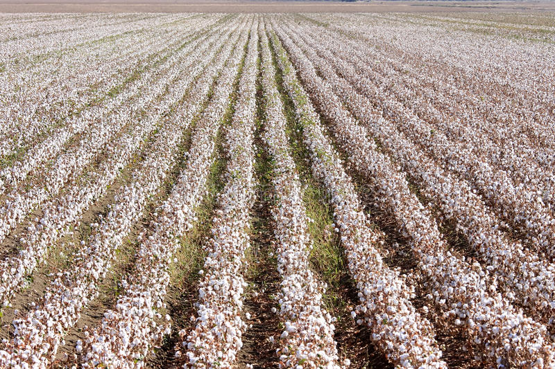 Download Cotton Farm Near Seville In Andalusia, Spain Stock Image - Image: 23058231