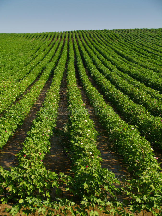 Download Cotton field stock image. Image of ecological, harvest - 12084653