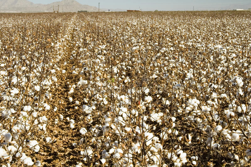 Cotton Field. A defoliated cotton field ready for harvest stock photography