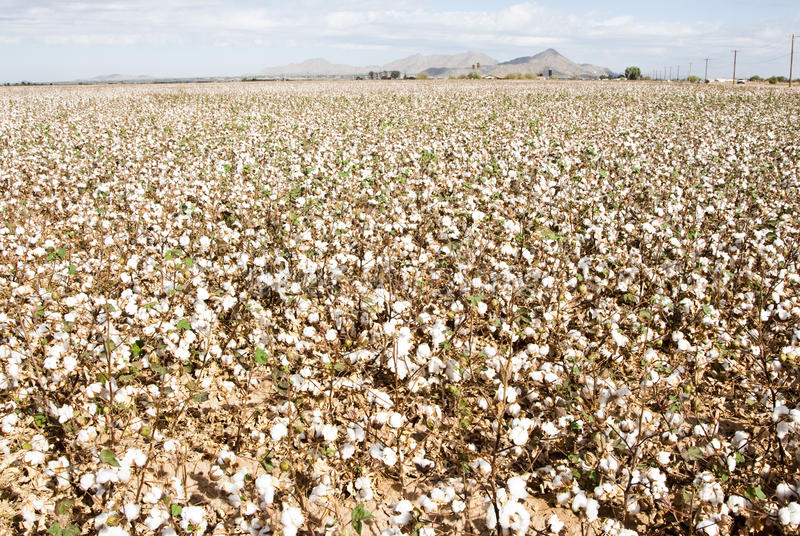 Download Cotton Field stock photo. Image of smooth, farm, agriculture - 12177742