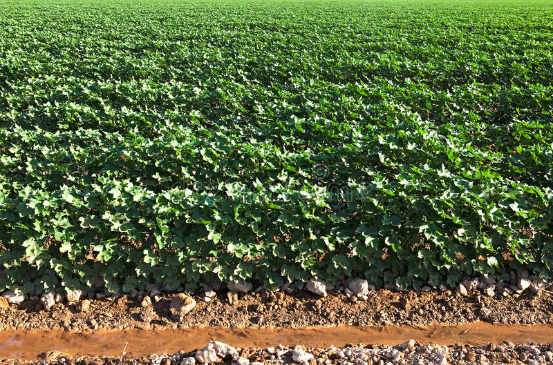 Download Cotton field. stock image. Image of cotton, plants, water - 16313363