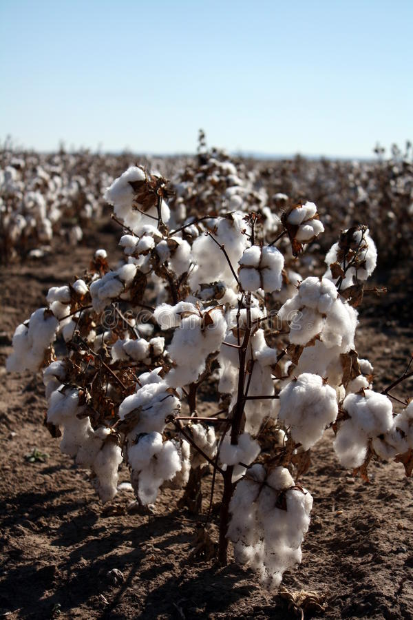 Download Cotton In Field stock image. Image of production, crop - 22549121