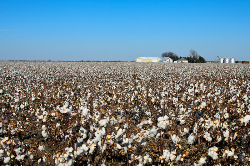 Download Cotton field stock image. Image of cotton, plantation - 27694953