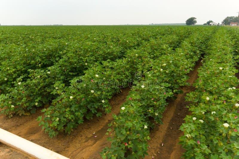 Cotton Field stock image