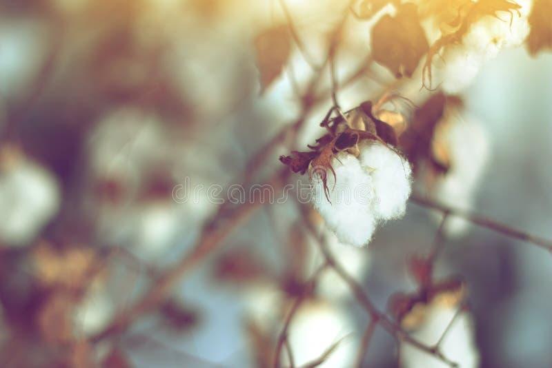 Cotton field, cotton plant flower branch. Cotton field, cotton plant flower branch on sunset light background stock photography