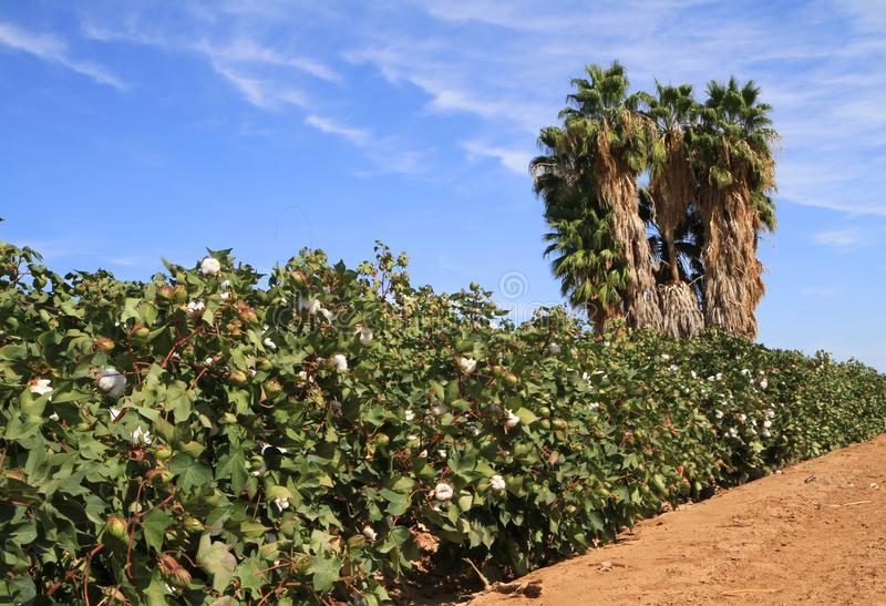 Download Arizona: Agriculture - Cotton Field In A Desert Stock Photo - Image: 27214802
