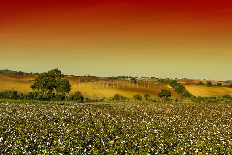 Cotton field in mysterious light royalty free stock image