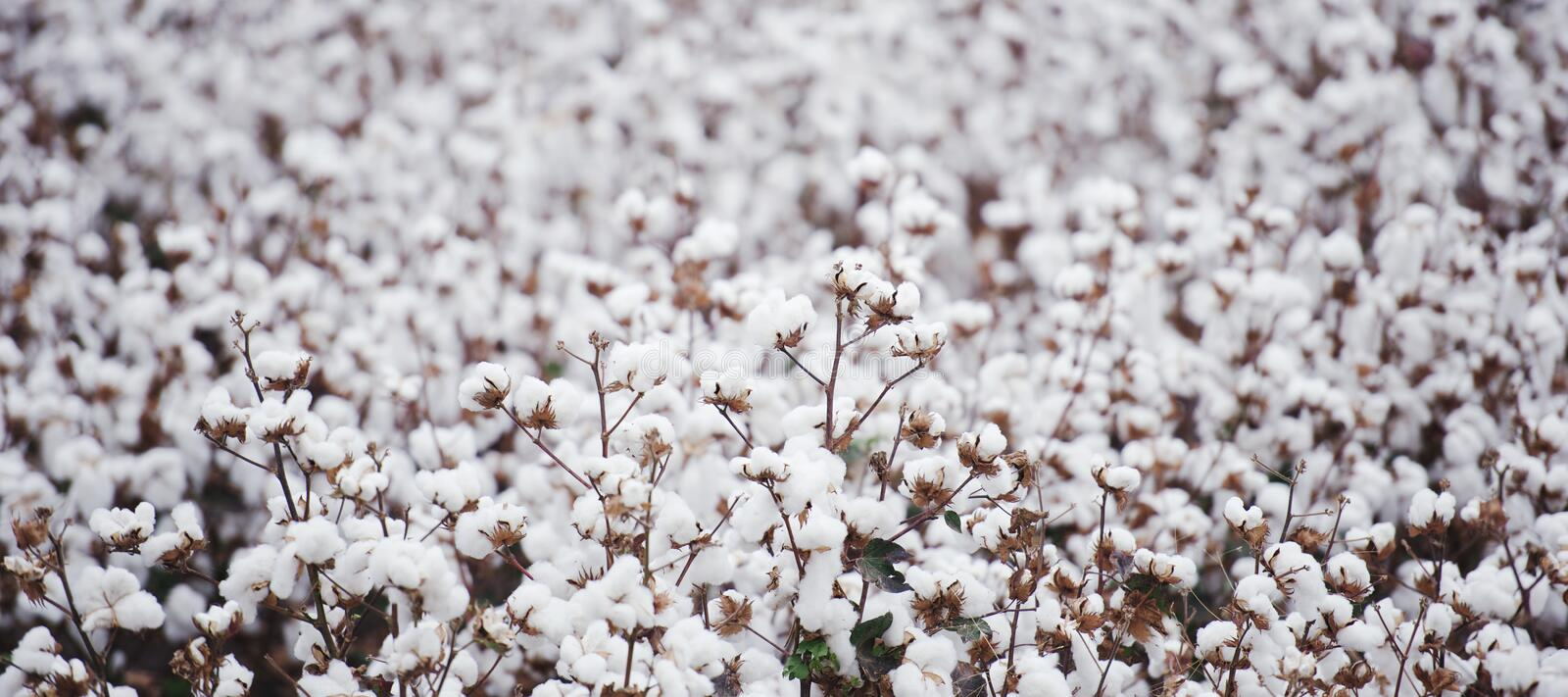 Cotton field in Oakey stock photography