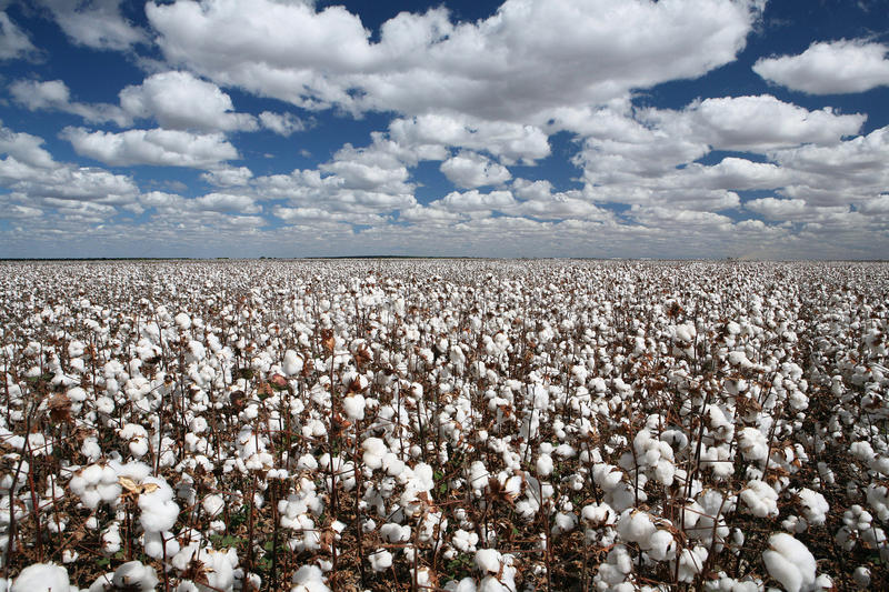 Cotton fields royalty free stock images