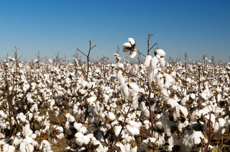 Download Cotton Fields stock image. Image of field, growth, ripe - 25383085