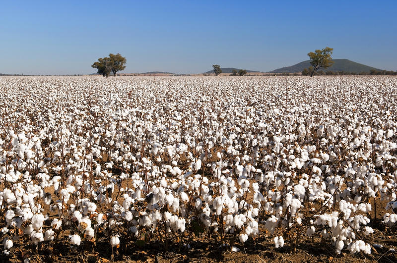 Download Cotton Fields stock image. Image of harvest, ball, smooth - 25383095
