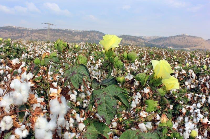 Download Cotton fields stock photo. Image of ball, grow, fiber - 26897252