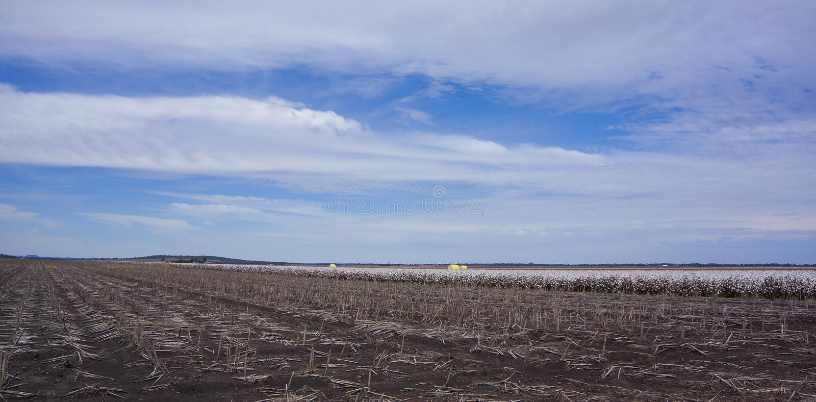Cotton Fields Ready For Harvesting in Australia stock photo
