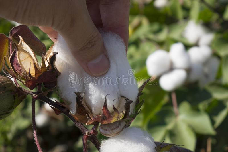 Cotton fields ready for harvesting stock image