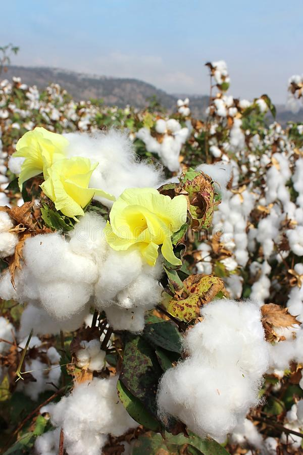 Cotton fields with ripe cotton ready for harvesting royalty free stock photography