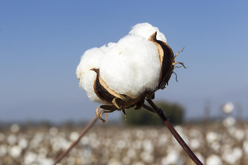 Cotton fields white with ripe cotton ready for harvesting royalty free stock images