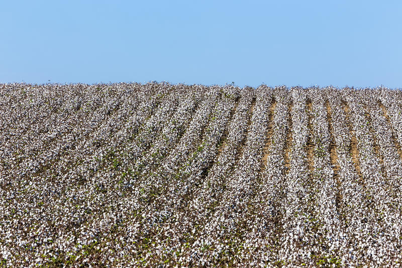 Cotton fields white with ripe cotton ready for harvesting stock photo