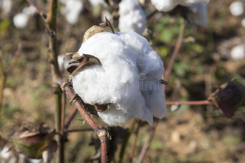 Cotton fields white with ripe cotton ready for harvesting royalty free stock photography