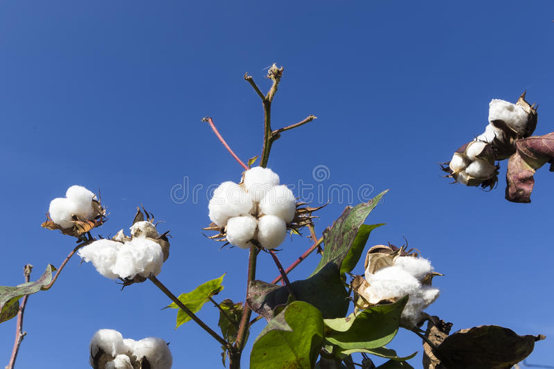 Cotton fields white with ripe cotton ready for harvesting stock image
