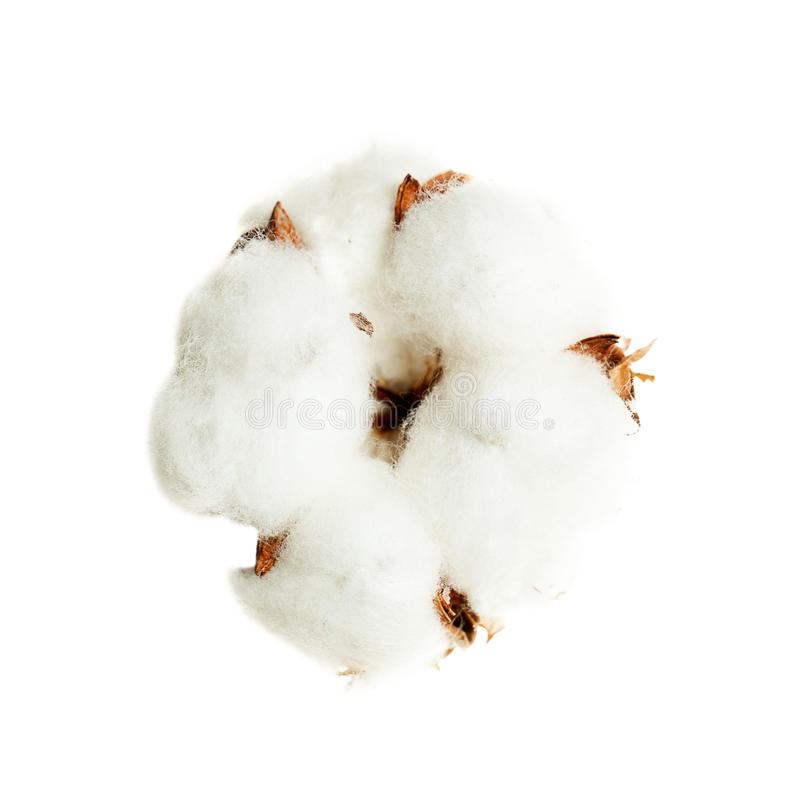 Cotton Flower Isolated on White. Background royalty free stock photos