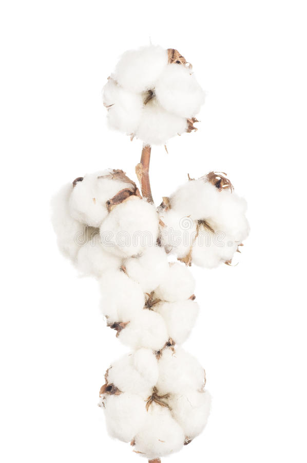 Download Cotton flowers. stock image. Image of organic, background - 18988013