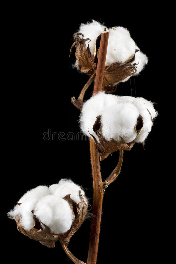 Cotton flowers.